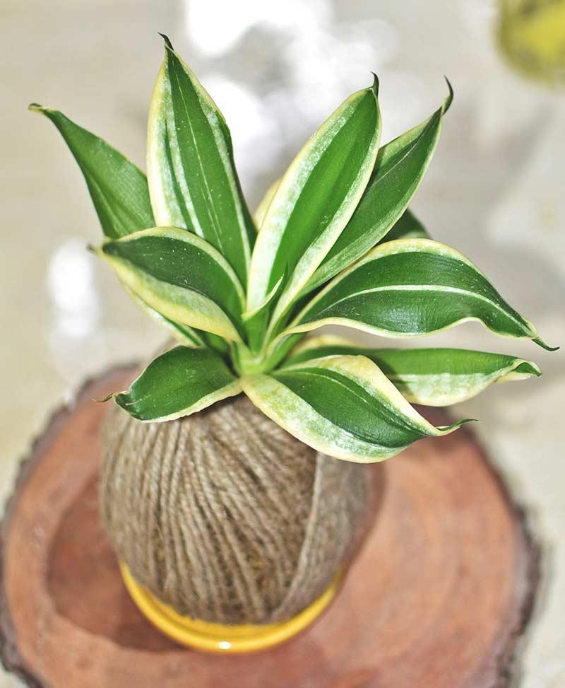 Kokedama of Variegated Snake Plant