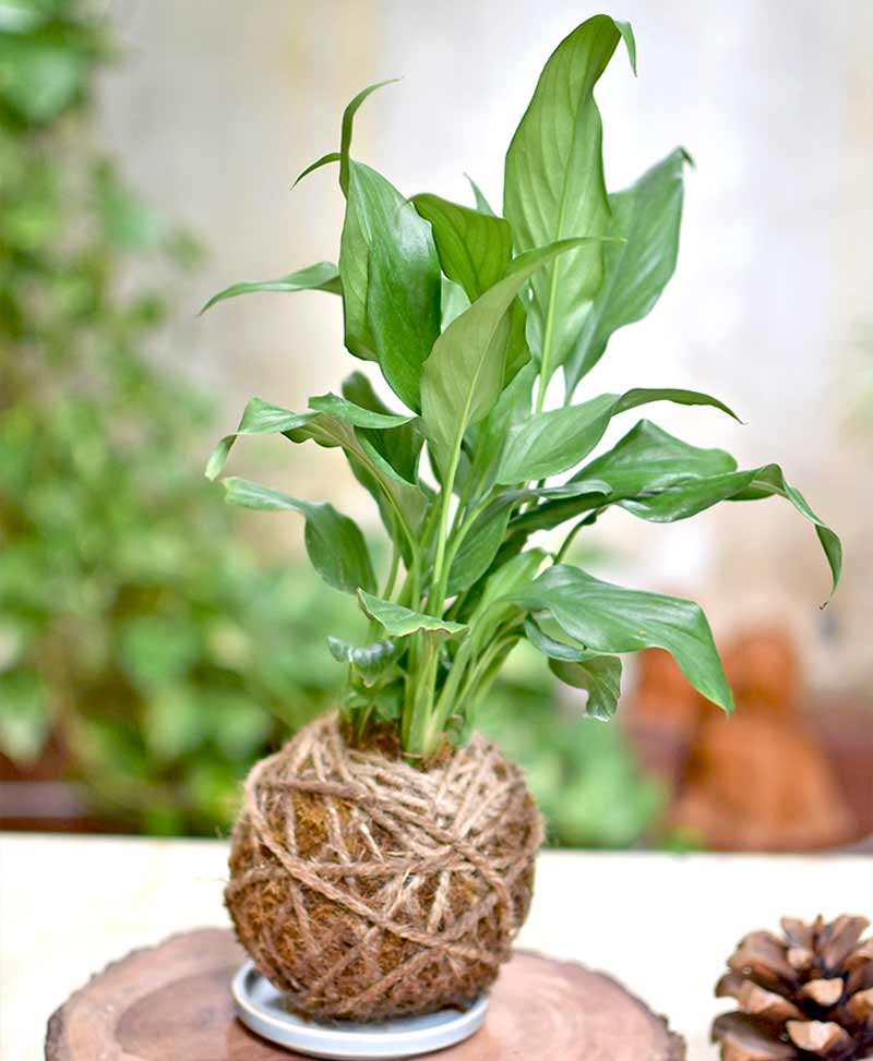 Kokedama small Peace Lily