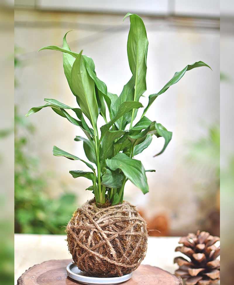 Kokedama of Spathiphyllum