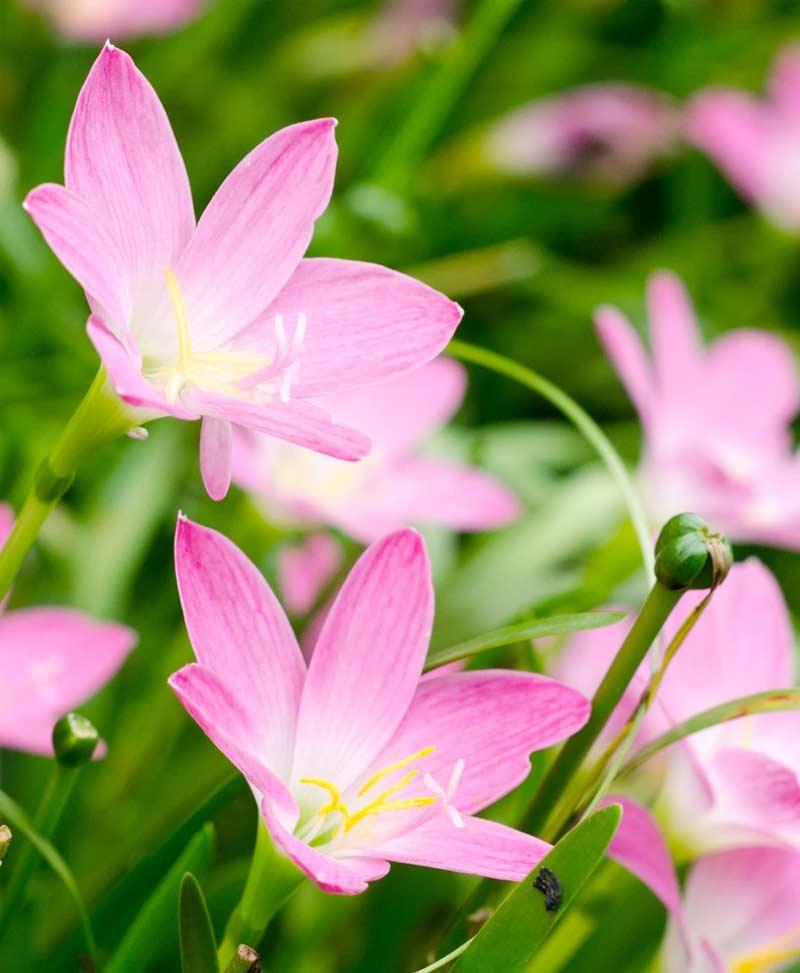 Zephyranthus Lily Robusta