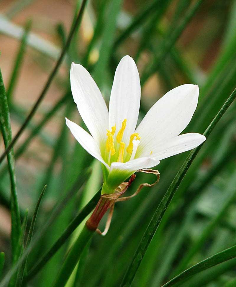 Zephyranthus Lily White (Rain Lily)