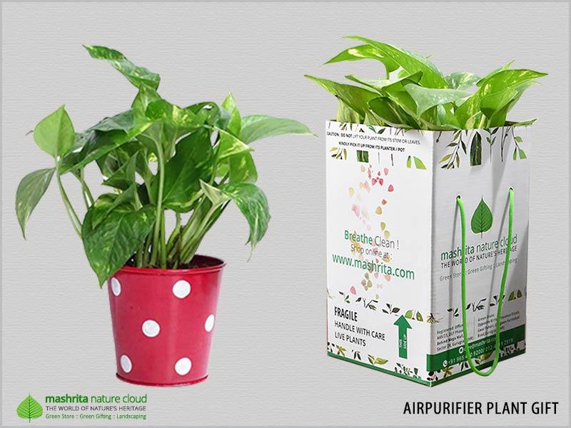 Airpurifier Plants Gift Noida