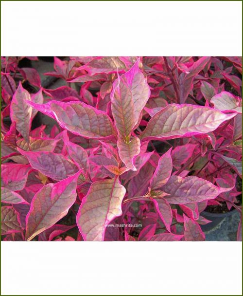 Alternanthera Brazilian Red
