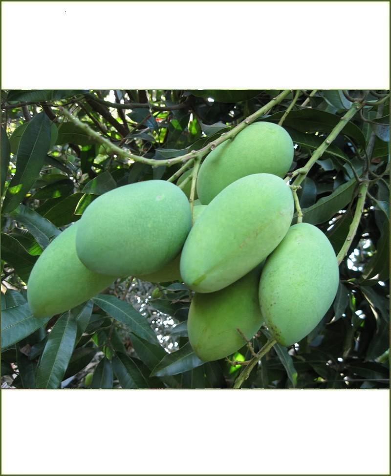 Amrapali Mango Pictures
