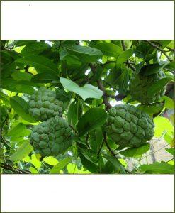 Annona Reticulata, Sugar Apple, Custard Apple, Sita Phal, Shareefa