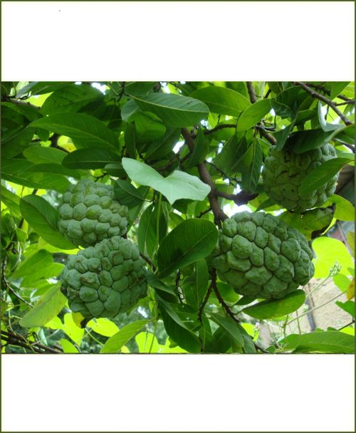 Annona Reticulata, Sugar Apple, Custard Apple, Sita Phal, Shareefa