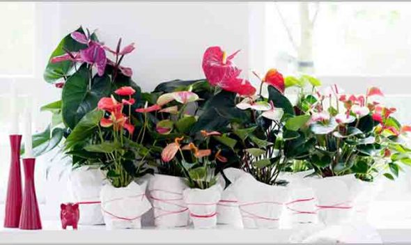 Anthurium Care – Anthurium Andraeanum Care