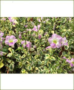 Asystasia Gangetica Variegated, Variegated Chinese Violet