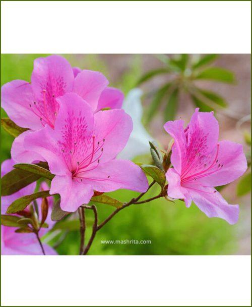 Azalea Pink Single Petal