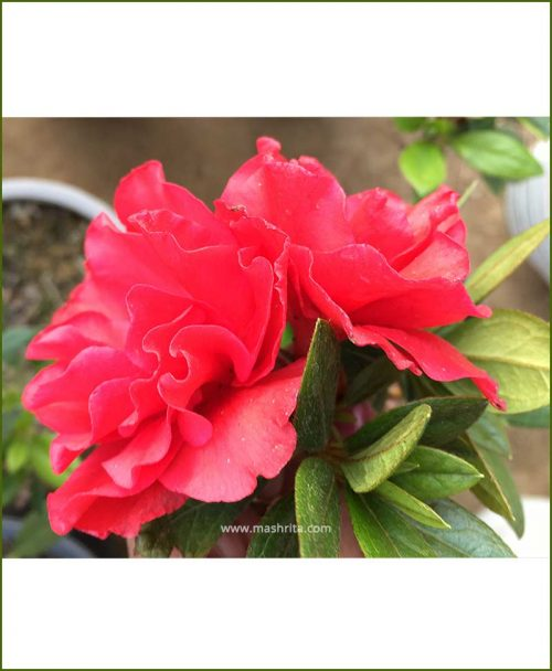 Azalea Red Double Petal