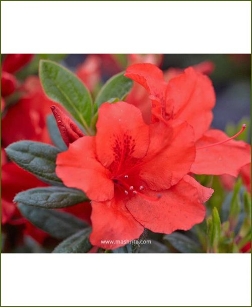 Azalea Red Single Petal