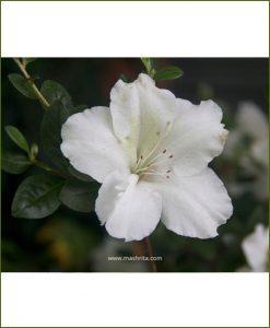 Azalea White Single Petal