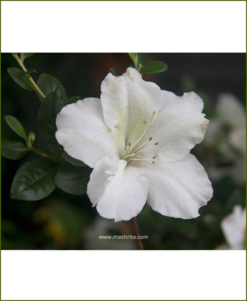 Azalea White Single Petal