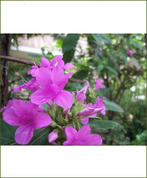 Barleria Cristata Pink, Porcupine, Philippine Violet