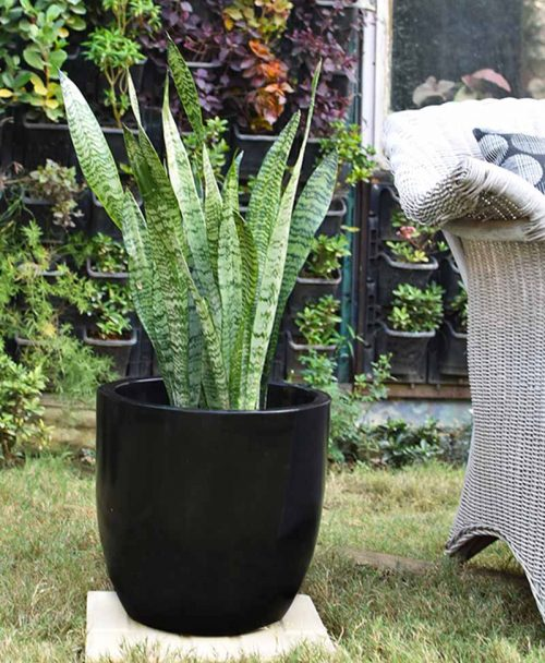 Fiber Glass Cup Shape Black Planter with Snake Plant Green (Sansevieria)