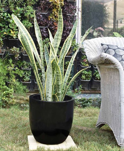 Fiber Glass Cup Shape Black Planter with Snake Plant Variegated (Sansevieria) -2