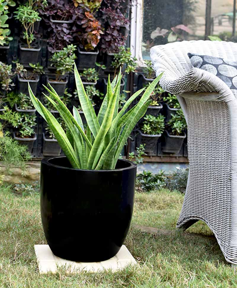Fiber Glass Cup Shape Black Planter with Snake Plant Francisii (Sansevieria)