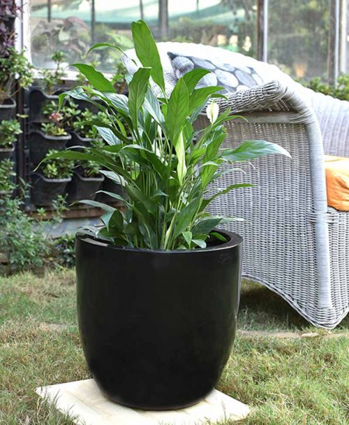 Fiber Glass Cup Shape Black Planter with Peace Lily (Spathiphyllum)