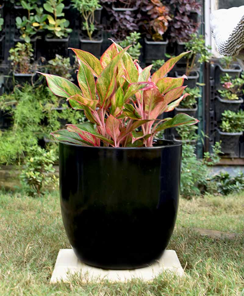 Fiber Glass Cup Shape Black Planter with Aglaonema Red