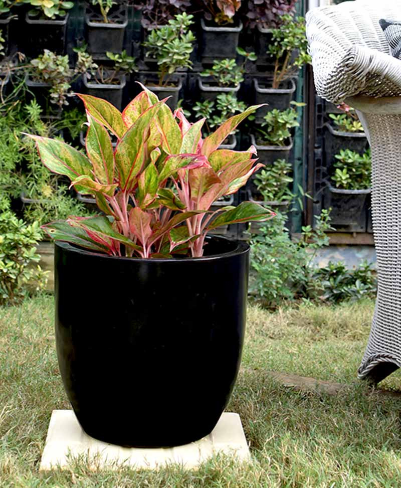 Fiber Glass Cup Shape Black Planter with Aglaonema Red