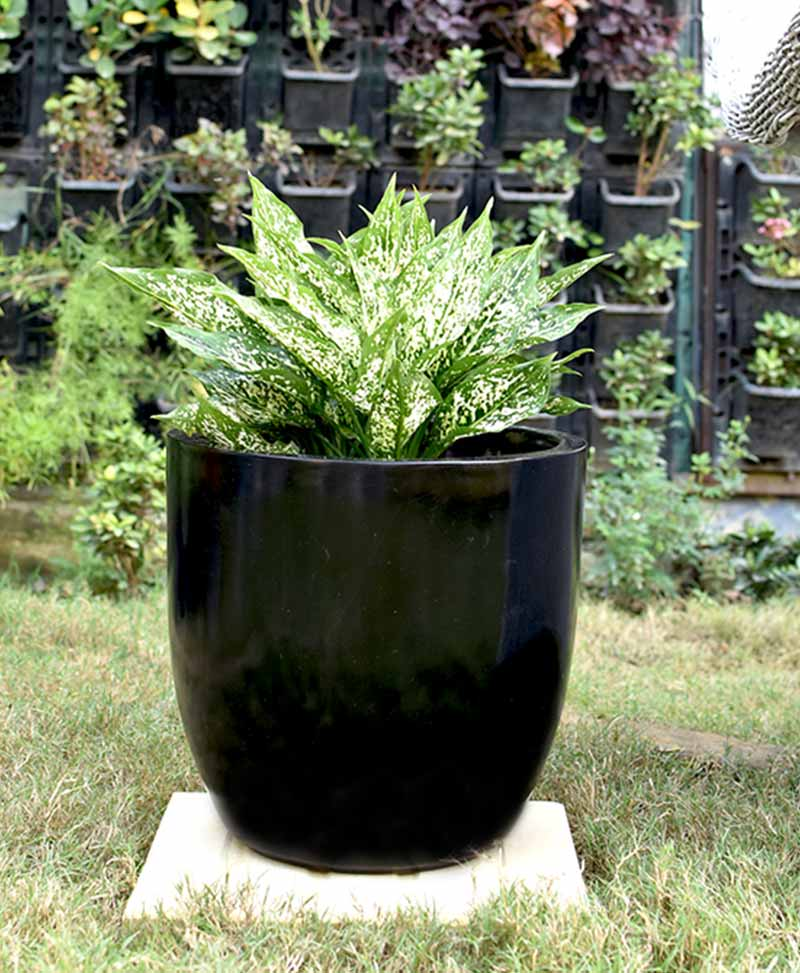 Fiber Glass Cup Shape Black Planter with Aglaonema Snow White
