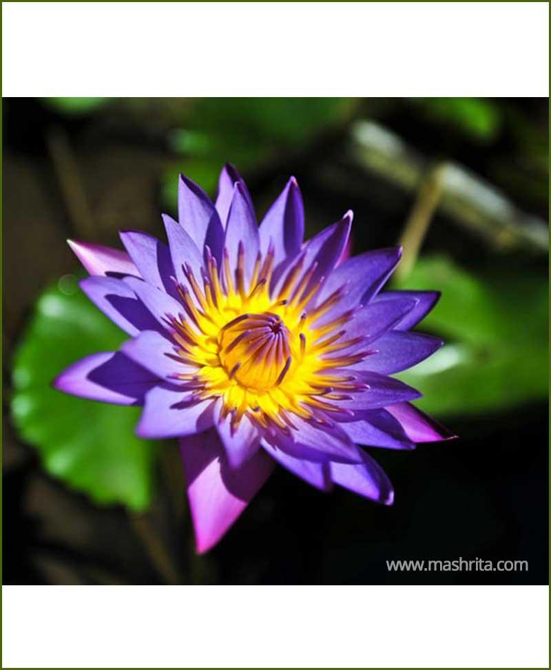 Blue Lotus Neela Kamal Blue Water Lily Nelumbo Nucifera