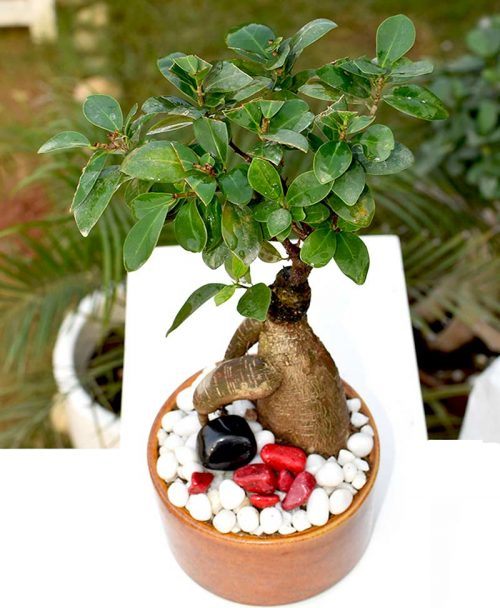 Ficus Microcarpa (Bonsai 300grms)