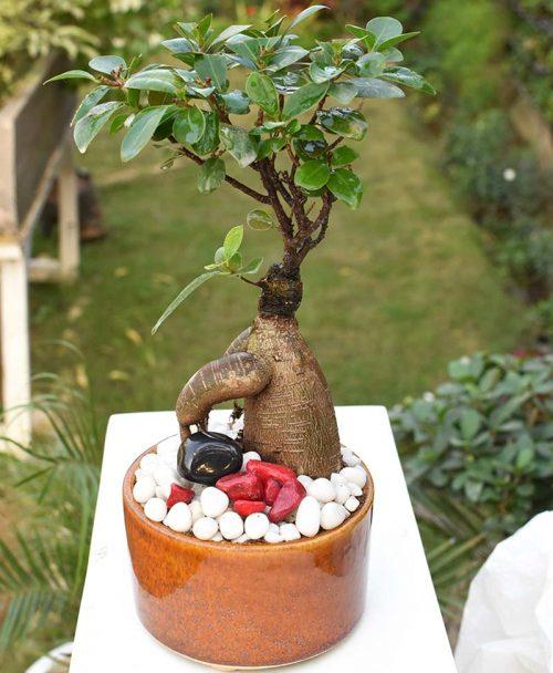 Ficus Microcarpa Bonsai 100grms