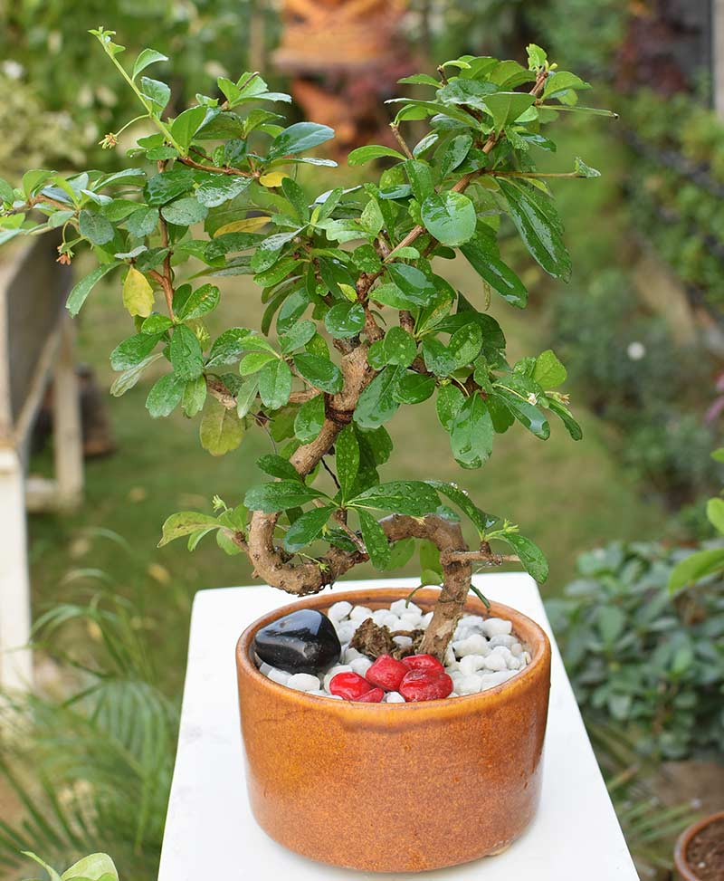 Carmona Microphylla S Shape Bonsai