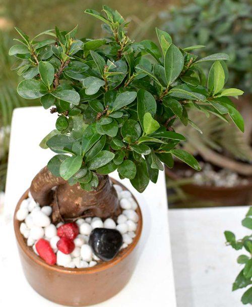 Ficus Microcarpa (Bonsai 500grms)