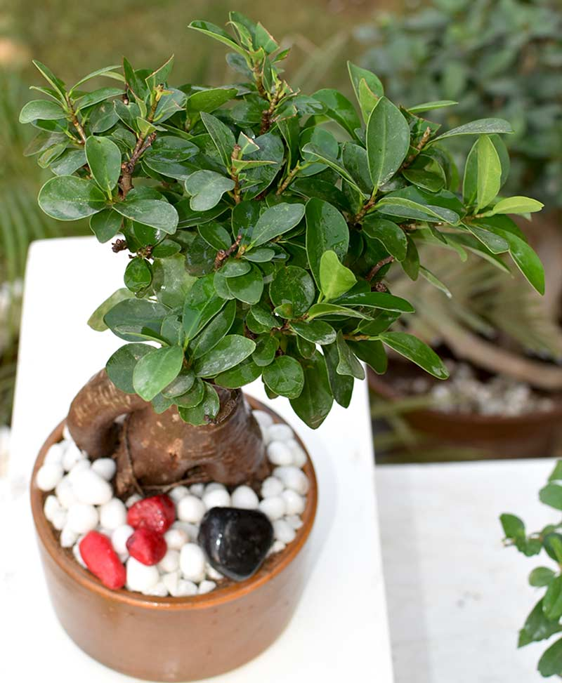 Ficus Microcarpa (Bonsai 500 grms)
