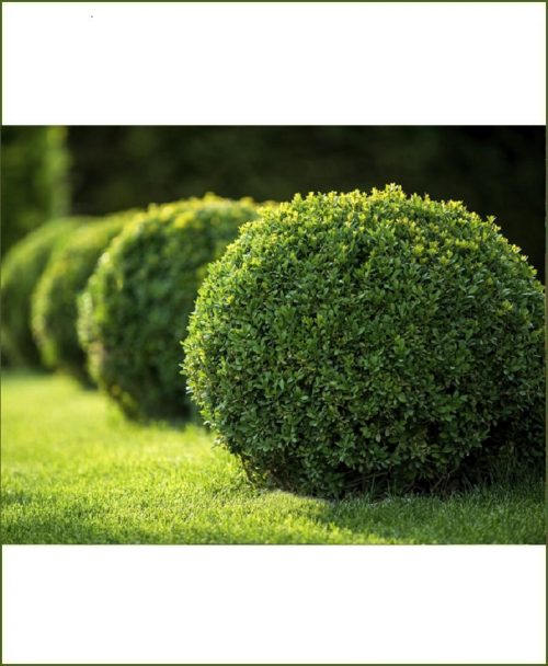 Buxus Microphylla Buxus Boxwood