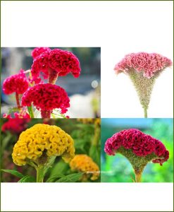 Celosia Mixed (Cocks Comb)
