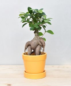 Ceramic Band Pot Mustard Yellow with Exotic Ficus Ginseng – Ficus Microcarpa 2
