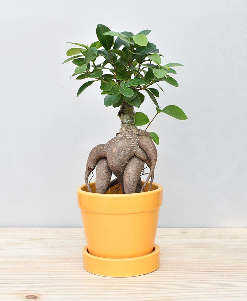Ceramic Band Pot Mustard Yellow with Exotic Ficus Ginseng – Ficus Microcarpa