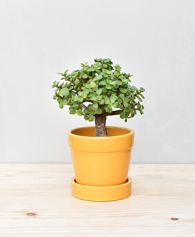 Ceramic Band Pot Mustard Yellow with Exotic Jade Plant – Crassula Ovata