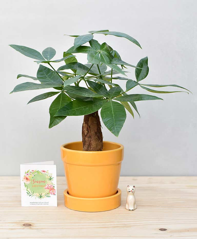Ceramic Band Pot Mustard Yellow with Exotic Money Tree – Pachira Aquatica