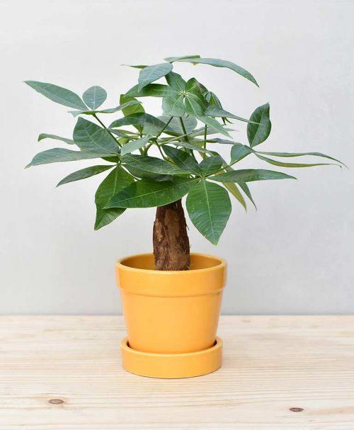 Ceramic Band Pot Mustard Yellow with Exotic Money Tree – Pachira Aquatica 2