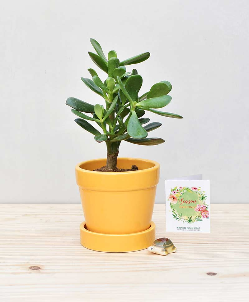 Ceramic Band Pot Mustard Yellow with Jade Plant Fatty Leaves