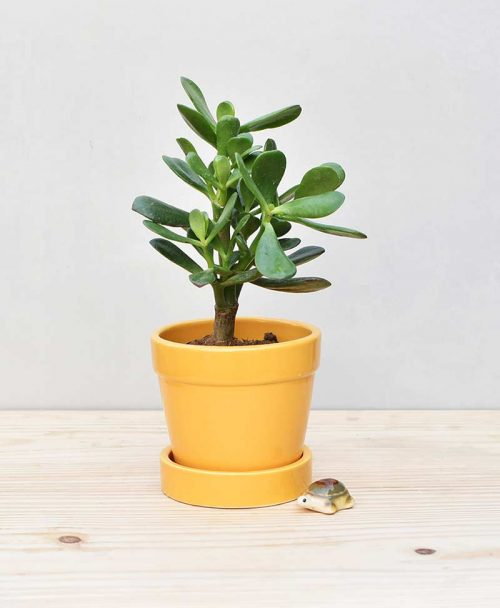 Ceramic Band Pot Mustard Yellow with Jade Plant Fatty Leaves 2
