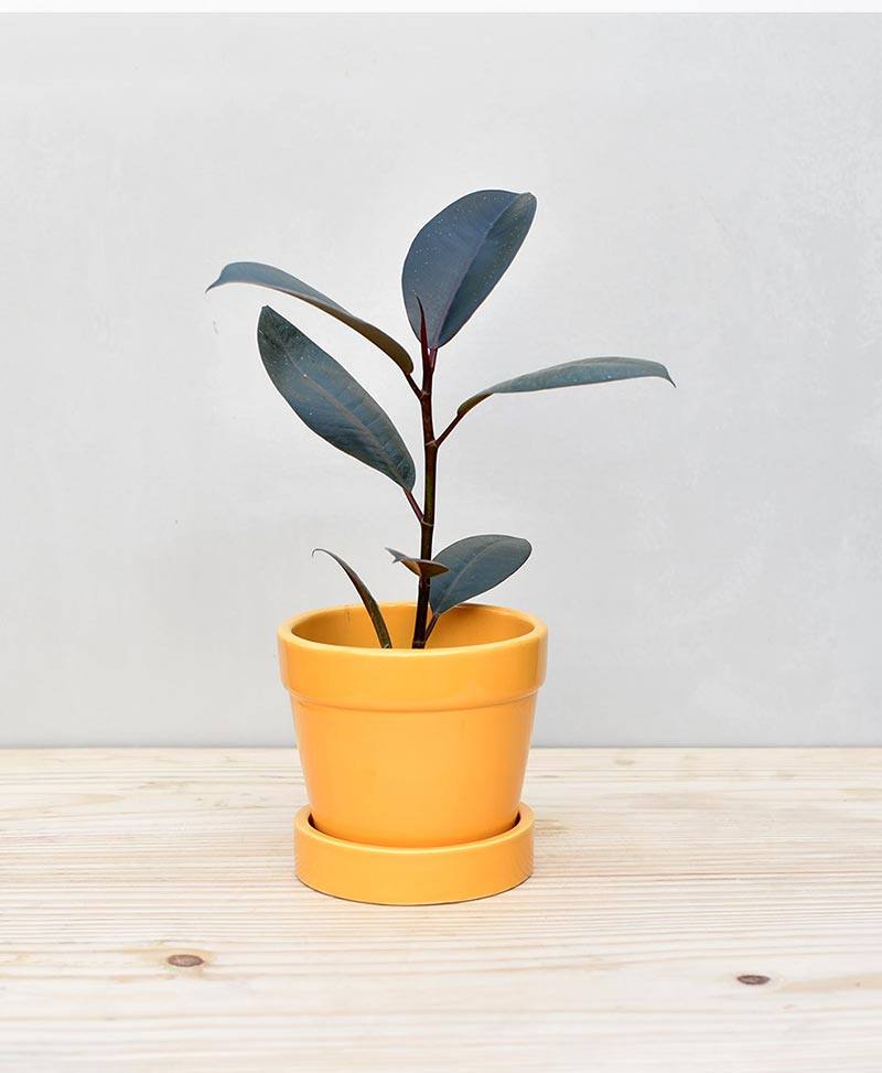 Ceramic Band Pot Mustard Yellow with Rubber Plant – Ficus Elastica Burgundy