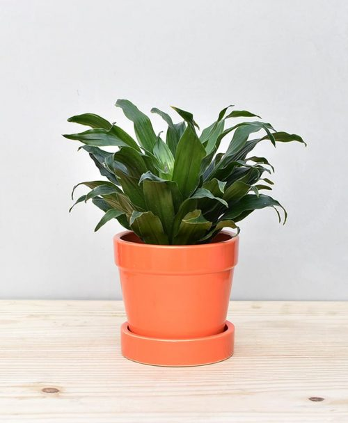 Ceramic Band Pot Orange with Exotic Draceana Compacta 2