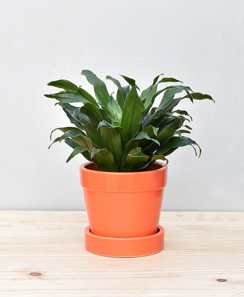Ceramic Band Pot Orange with Exotic Draceana Compacta