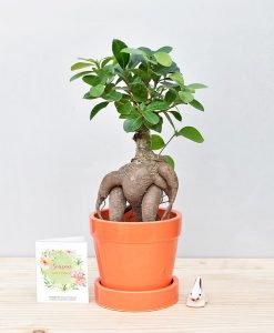 Ceramic Band Pot Orange with Exotic Ficus Ginseng – Ficus Microcarpa