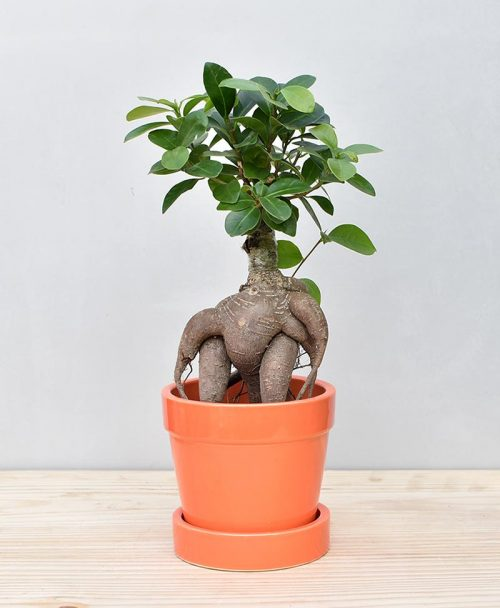 Ceramic Band Pot Orange with Exotic Ficus Ginseng – Ficus Microcarpa 2