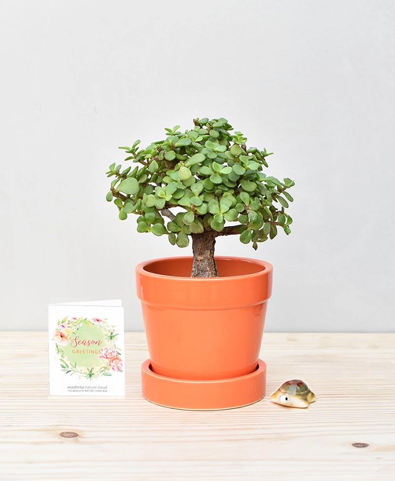 Ceramic Band Pot Orange with Exotic Jade Plant – Crassula Ovata