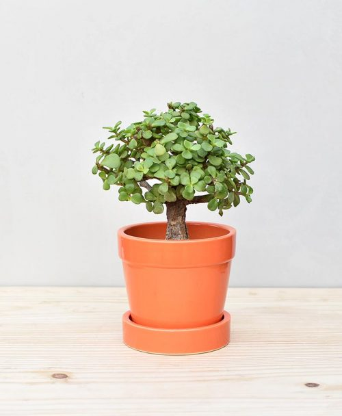 Ceramic Band Pot Orange with Exotic Jade Plant – Crassula Ovata 2