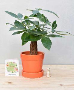 Ceramic Band Pot Orange with Exotic Money Tree – Pachira Aquatica