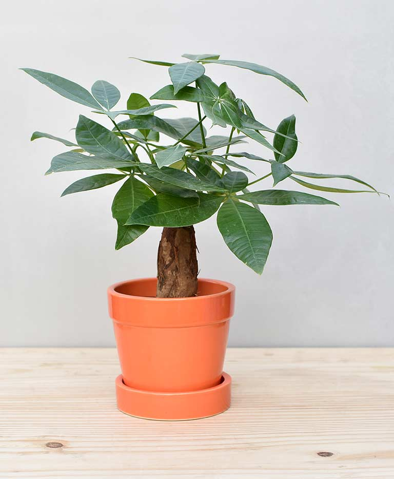 Ceramic Band Pot Orange with Exotic Money Tree – Pachira Aquatica