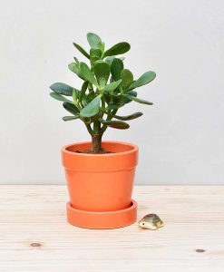 Ceramic Band Pot Orange with Jade Plant Fatty Leaves 2